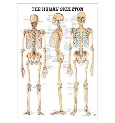 """Tablica anatomiczna """"Szkielet"""" 3D"""