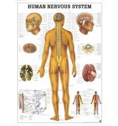 """Tablica anatomiczna """"Układ Nerwowy"""" 3D"""