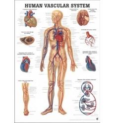 """Tablica anatomiczna """"Układ Krwionośny"""" 3D"""