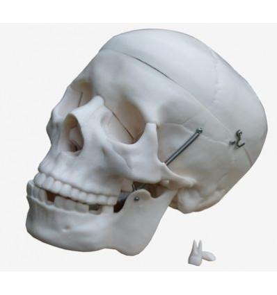 Czaszka ludzka (Model anatomiczny)