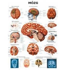 """Tablica anatomiczna """"Mózg"""" Plansza anatomiczna"""