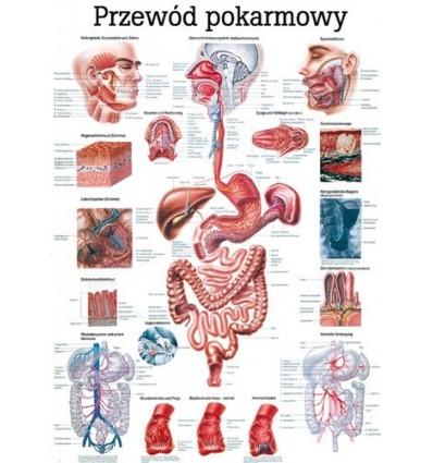 """Tablica anatomiczna """"Przewód pokarmowy"""" Plansza anatomiczna"""