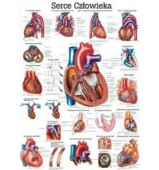 """Tablica anatomiczna """"Serce człowieka"""" Plansza anatomiczna"""