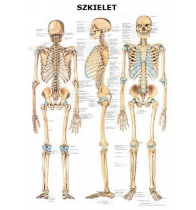 """Tablica anatomiczna """"Szkielet"""" Plansza anatomiczna"""