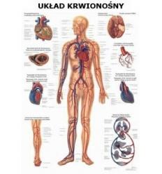 """Tablica anatomiczna """"Układ krwionośny"""" Plansza anatomiczna"""