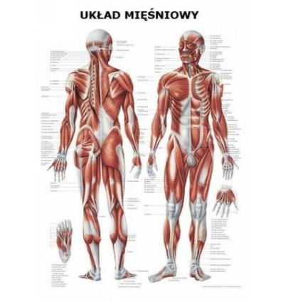 """Tablica anatomiczna """"Układ mięśniowy"""" Plansza anatomiczna"""