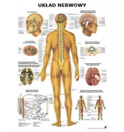 """Tablica anatomiczna """"Układ nerwowy"""" Plansza anatomiczna"""